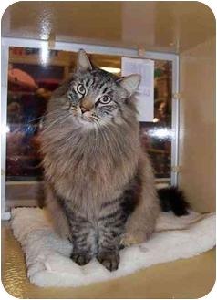 Domestic Longhair Cat for adoption in Modesto, California - Fuzzy Baldor