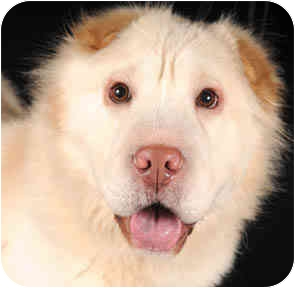 Shar Pei Mix Dog for adoption in Chicago, Illinois - Snowball