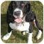 Photo 4 - English Springer Spaniel Dog for adoption in Minneapolis, Minnesota - Sherman (MN)