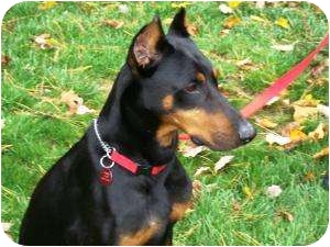 Doberman Pinscher Dog for adoption in Arlington, Virginia - Angus