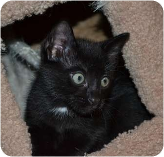 Domestic Shorthair Kitten for adoption in Houston, Texas - Karma