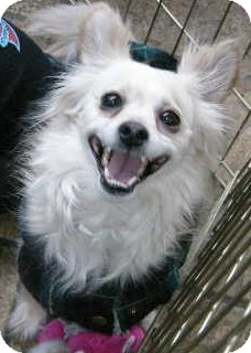 Papillon Mix Dog for adoption in Las Vegas, Nevada - Georgie