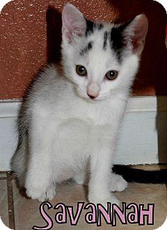 Domestic Shorthair Kitten for adoption in Yuba City, California - Savannah the Kitten