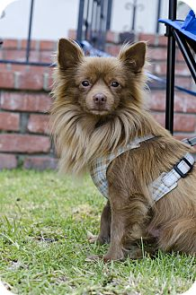 Chihuahua Dog for adoption in Mission Viejo, California - Huey