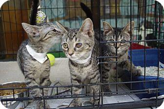 Domestic Shorthair Kitten for adoption in Elyria, Ohio - Betty & Veronica