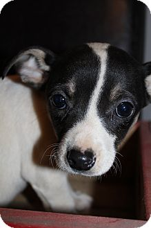 Chihuahua Mix Puppy for adoption in Hagerstown, Maryland - Smudge McGruff