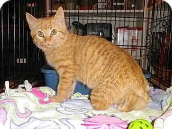 Domestic Shorthair Kitten for adoption in St. Louis, Missouri - Zucca