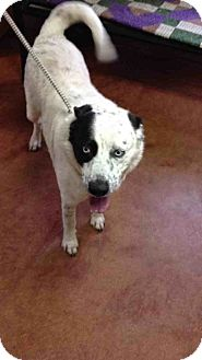 Husky/Australian Cattle Dog Mix Dog for adoption in East Hartford, Connecticut - Blue in CT