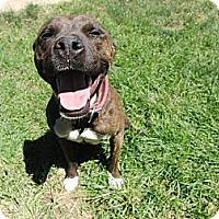 Adopt A Pet :: Coco Good Citizen!! - Sacramento, CA