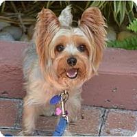Adopt A Pet :: Jezebel - Fairfax, VA