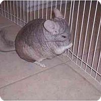 Adopt A Pet :: Chintzie - Avondale, LA