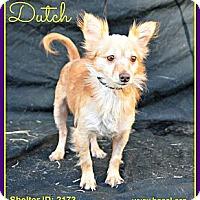 Adopt A Pet :: Dutch - Plano, TX