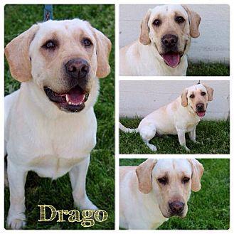 Labrador Retriever Mix Dog for adoption in Garden City, Michigan - Drago