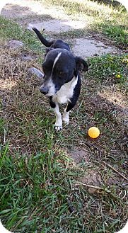 Chihuahua Mix Dog for adoption in Duchess, Alberta - Oreo