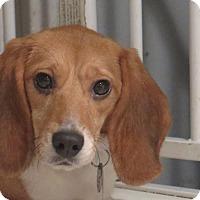 Adopt A Pet :: Mila - Yardley, PA