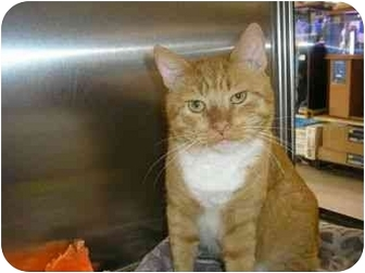 American Bobtail Cat for adoption in New Port Richey, Florida - Samson