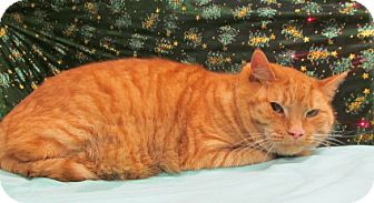 Domestic Shorthair Cat for adoption in Waldorf, Maryland - Tigger