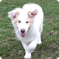 Adopt A Pet :: Goldilocks - Post Falls, ID