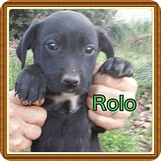 Dachshund/Bearded Collie Mix Puppy for adoption in Glastonbury, Connecticut - Rolo