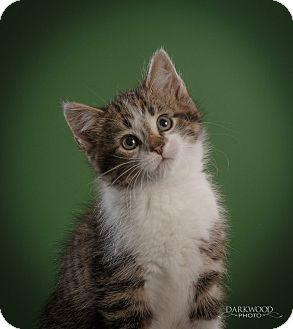 Domestic Shorthair Kitten for adoption in St. Louis, Missouri - Groot