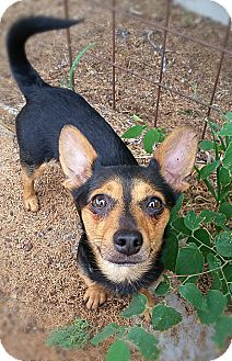 Dachshund/Miniature Pinscher Mix Dog for adoption in Tijeras, New Mexico - Blake