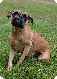 Boxer Dog for adoption in Michigan City, Indiana - Bella