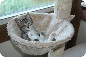 Domestic Shorthair Kitten for adoption in St. Louis, Missouri - Max