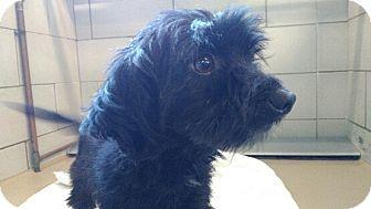 Maltese Mix Dog for adoption in Great Falls, Virginia - Mason