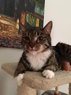 American Shorthair Cat for adoption in New York, New York - Austin