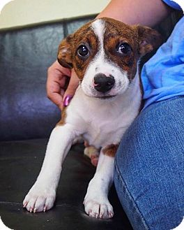 Fox Terrier (Smooth) Mix Puppy for adoption in Philadelphia, Pennsylvania - Magnum