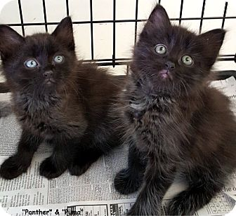 Domestic Mediumhair Kitten for adoption in Key Largo, Florida - Panther & Puma