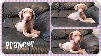 Weimaraner Puppy for adoption in DOVER, Ohio - Prancer