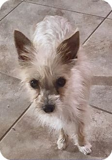 Silky Terrier Mix Dog for adoption in Sacramento, California - Dude!