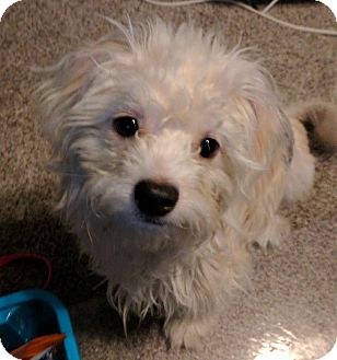 Cairn Terrier Mix Dog for adoption in Rockford, Illinois - Marley