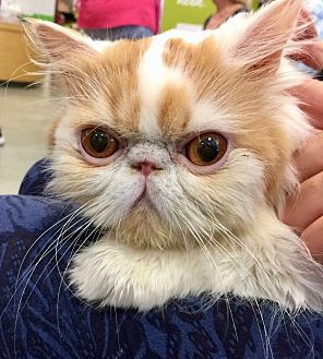 Persian Cat for adoption in Beverly Hills, California - Monkey