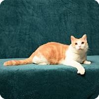 Adopt A Pet :: Butch Cassidy (FIV positive) - Cary, NC