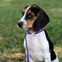 Adopt A Pet :: PUPPY BABY LOVE - Andover, CT