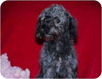 Poodle (Miniature)/Yorkie, Yorkshire Terrier Mix Dog for adoption in Broomfield, Colorado - Priscilla