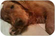 Golden Retriever Dog for adoption in FOSTER, Rhode Island - Annie