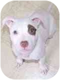 Pit Bull Terrier Mix Puppy for adoption in Norwalk, Connecticut - Charlotte