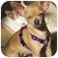 Photo 2 - Chihuahua Dog for adoption in Encino, California - HULA the Tiny Chi