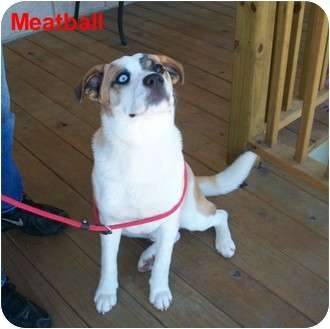 St. Bernard/Husky Mix Dog for adoption in Slidell, Louisiana - Meatball