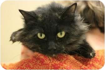 Domestic Longhair Cat for adoption in Chicago, Illinois - Calypso