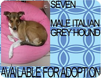 Italian Greyhound/Smooth Fox Terrier Mix Dog for adoption in Hollywood, Florida - SEVEN