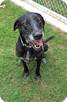 Labrador Retriever Mix Dog for adoption in Hickory Creek, Texas - Cosette