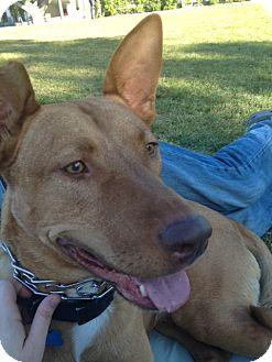Vizsla/Pharaoh Hound Mix Dog for adoption in Van Nuys, California - Cody