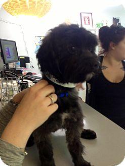 Maltese Mix Dog for adoption in Thousand Oaks, California - Travis