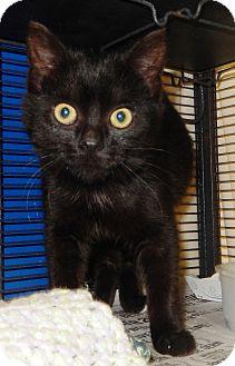 Domestic Shorthair Kitten for adoption in Midland, Michigan - Shoey