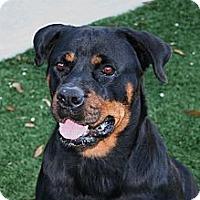 Adopt A Pet :: Lazy - Seffner, FL