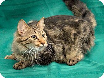 Domestic Shorthair Cat for adoption in Warren, Michigan - Kornikova